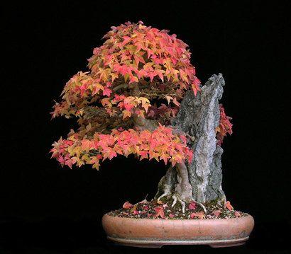 Bonsai Trident Ahorn Samen wachsen Ihre eigenen von CheapSeeds