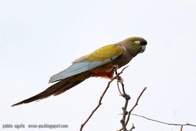 mis fotos de aves: Loro barranquero [Cyanoliseus patagonus] Burrowing...