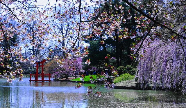 sakura matsuri cherry blossom festival is at the brooklyn botanic garden on april 26