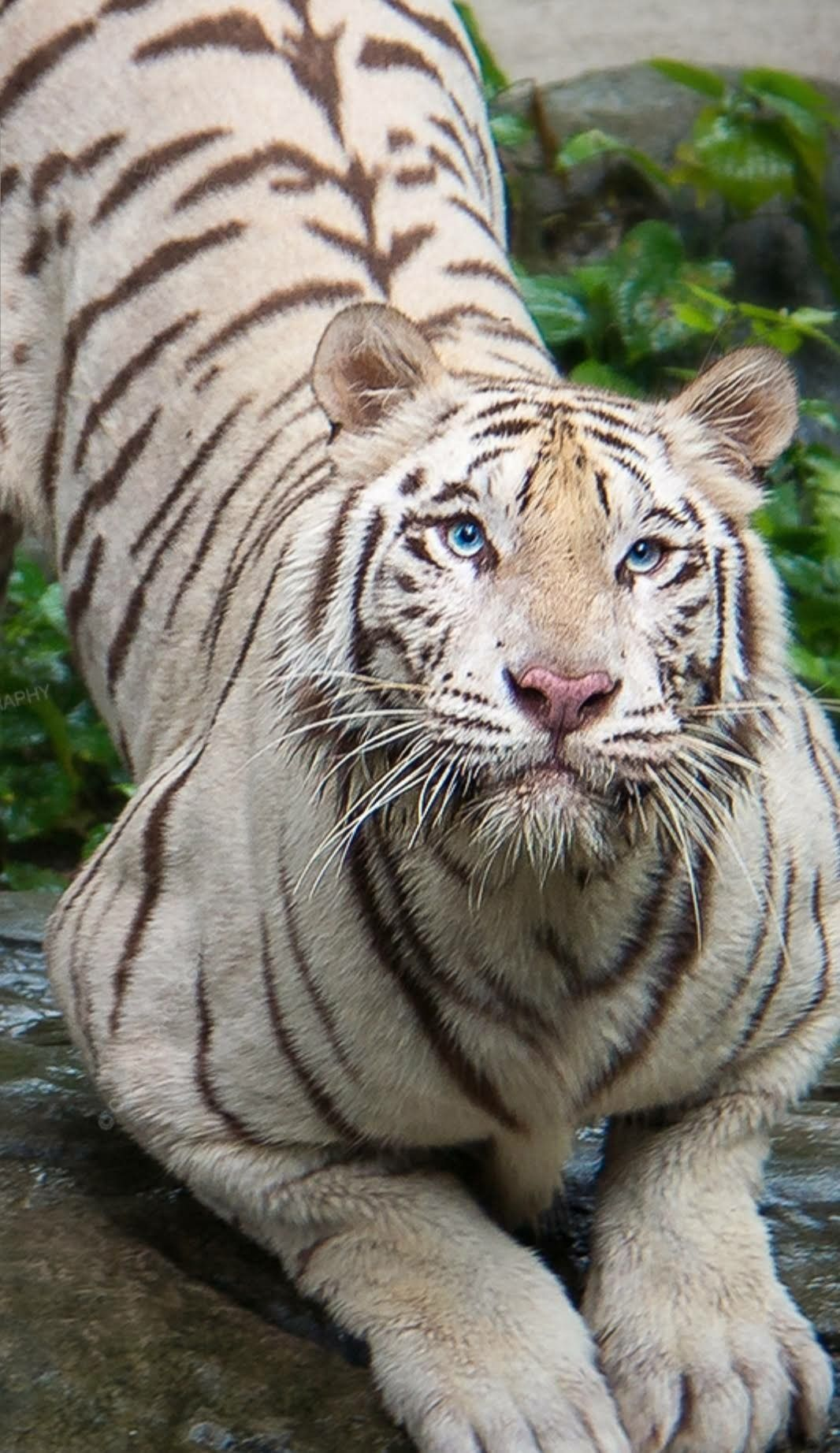 This Is One Extremely Beautiful And Awesome Huge White Tiger Beautiful Cats Animals Beautiful Wild Cats