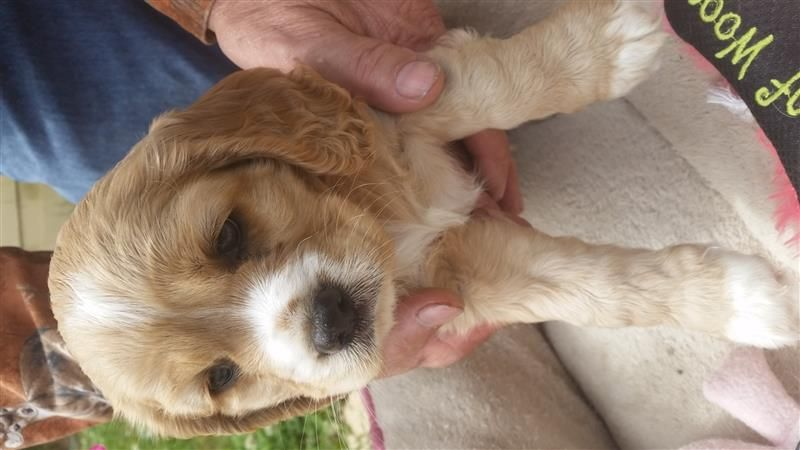 Cockilier Lap Dogs Dogs Pets