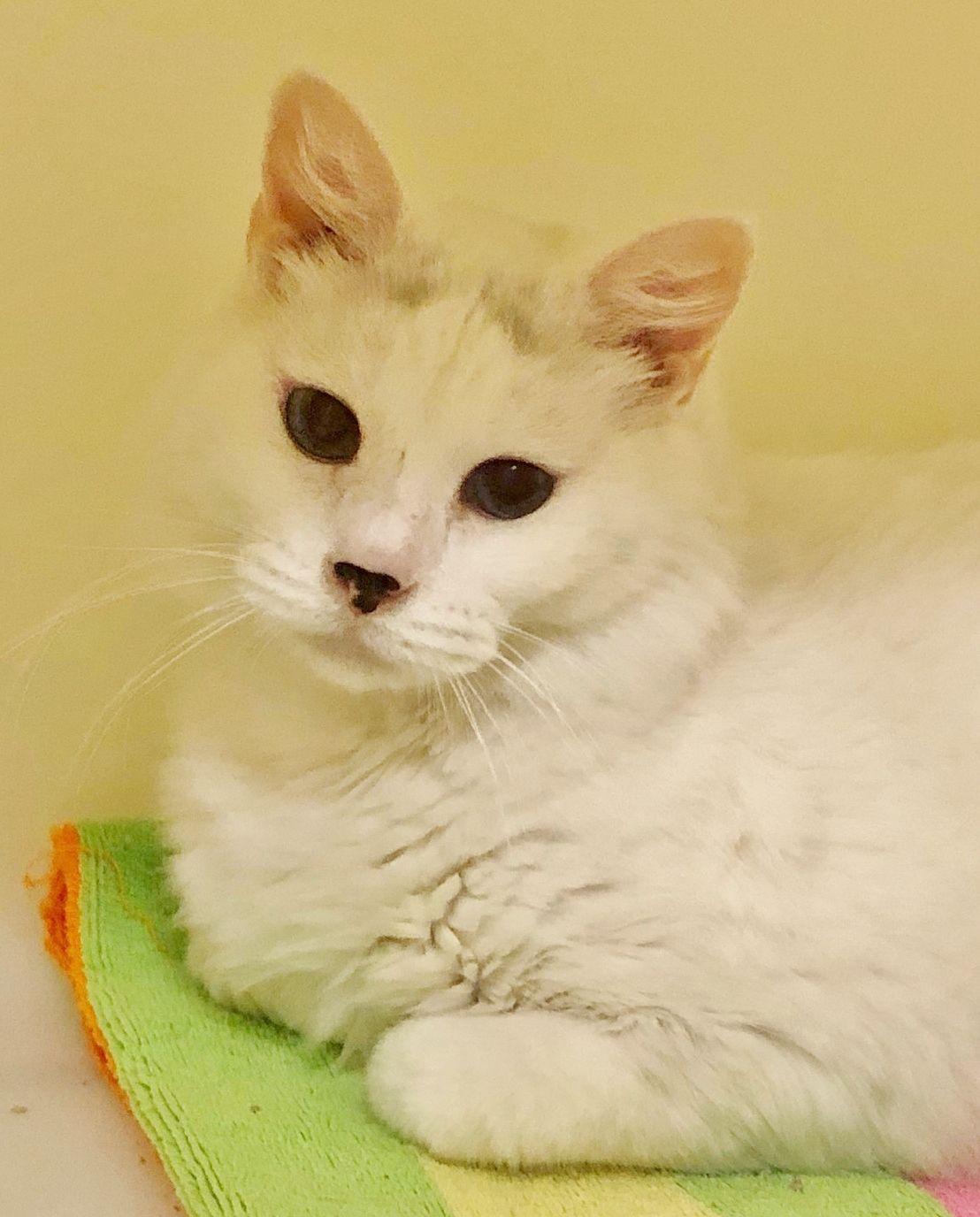 Adopt Blanka On Petfinder Cat Adoption Cute Cats Help Homeless Pets