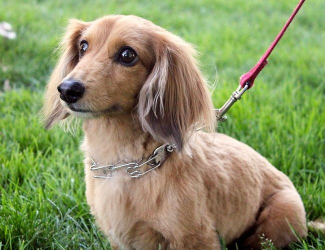 Small Long Haired Dog Breeds Training Puppies