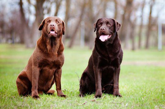 Milk And Dark Chocolate Animalbffs Labrador Retriever Dog