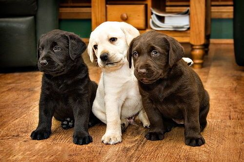Black Brown White Lab Puppies Cute Animals Lab Puppies Cute Dogs