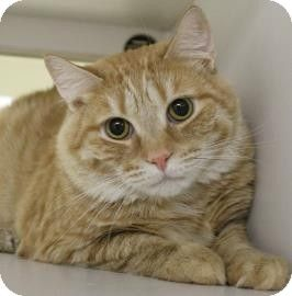 Newington Ct Domestic Shorthair Meet Butterscotch A Cat For Adoption