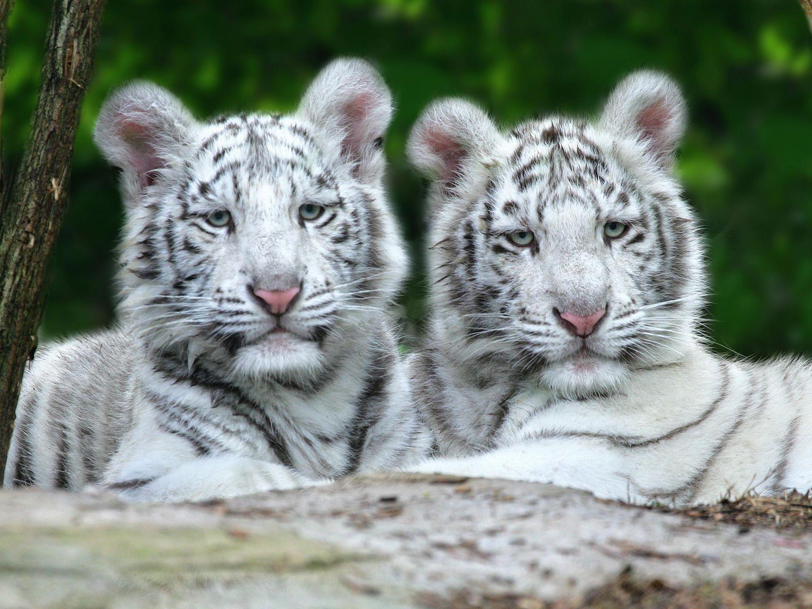 Nashville Zoo Pet Tiger Cute Wild Animals White Tiger Cubs
