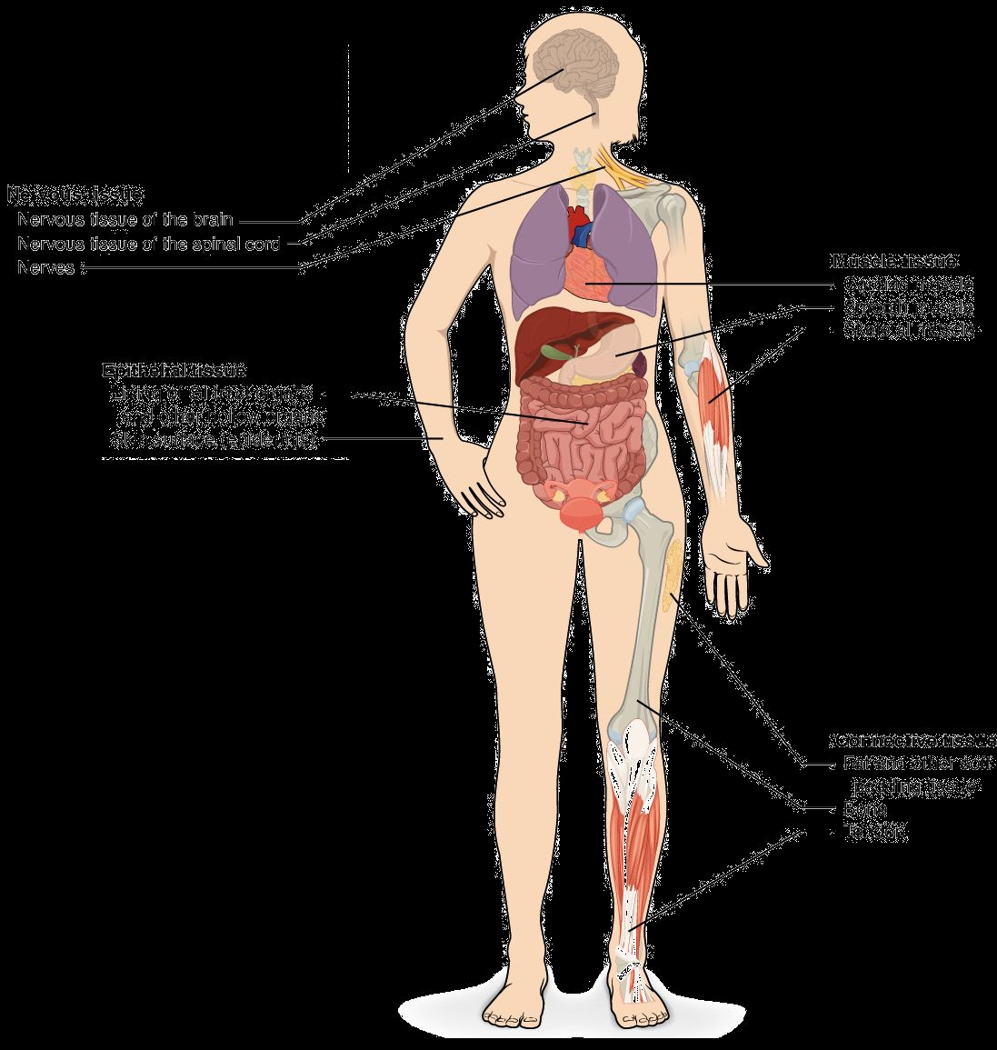 Pictures Of Organs In Body Human Anatomy Drawing Pinterest