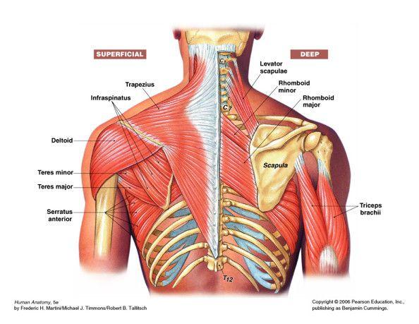 Shoulder Muscles Manly Man Fitness Pinterest Shoulder Muscles