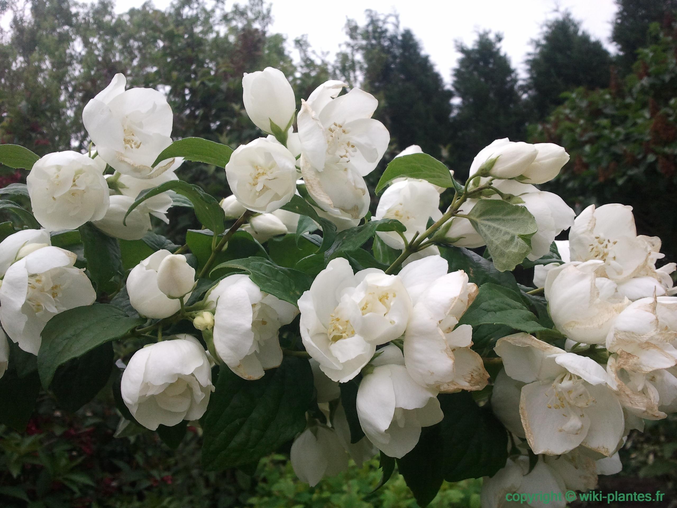 fleur de philadelphus seringat fleurs pinterest h misph re nord jasmin et fleurs blanches. Black Bedroom Furniture Sets. Home Design Ideas