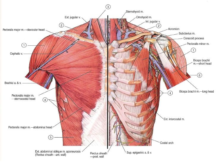 Chest Muscles Google Search Muscles Of Upper Limb Chest Muscles Body Anatomy