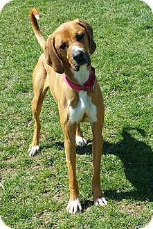 Lisbon Oh Great Dane Boxer Mix Meet Bama A Dog For Adoption