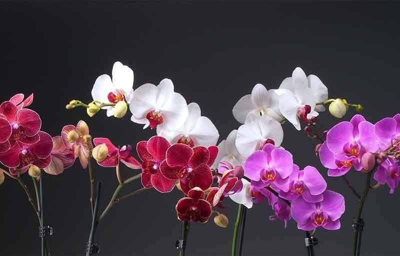 Paling Keren 19 Gambar Bunga Anggrek Terbaru Arti Warna Bunga Anggrek Outerbloom Katalog Tanaman Jasa Tukang Taman Jakar Di 2020 Menanam Bunga Anggrek Lukisan Bunga