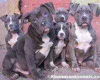 Put An End To The Pitbull Ban In Ontario Canada Pitbull Terrier