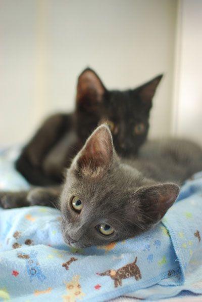 Kitten Adoption San Diego Adopt A Kitten Kitten Adoption Kitten Season Animals