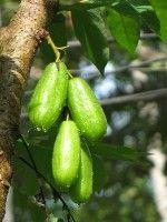 Vrucht birambi / Bron: Sugeesh / Wikimedia Commons:  De geneeskracht van birambi of blimbing