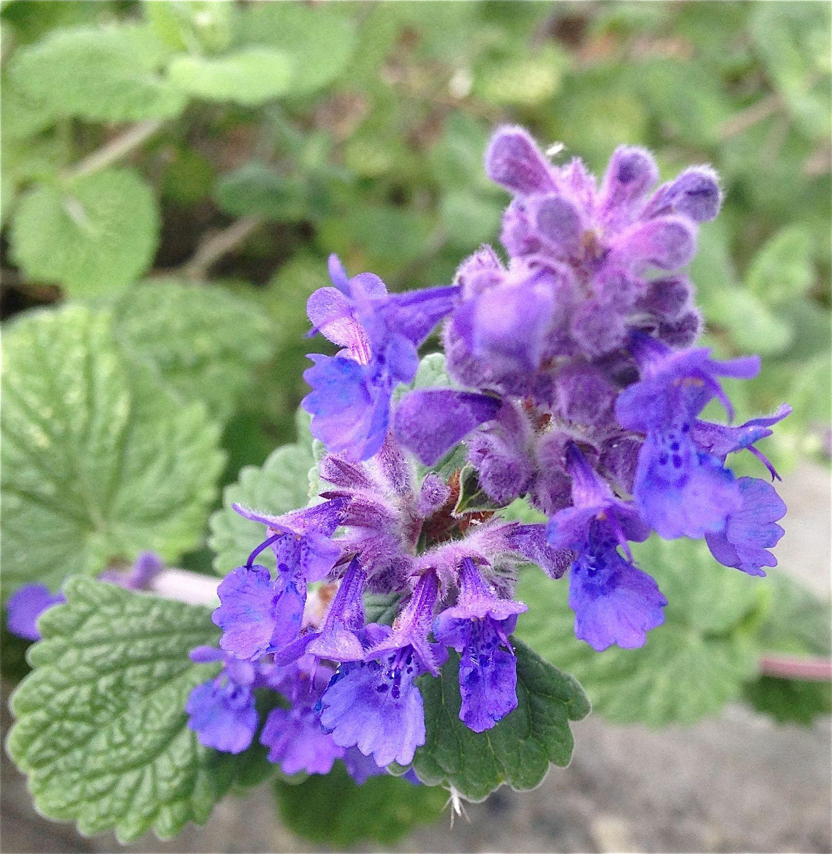 Blå kattemynte - Rambo og de andre nabokattene liker denne godt, men den er også flott om bunndekker i rosebedet :) / Blue catnip - Nepeta cataria - The cats like to eat this, but the flowers are beautiful - for example with roses :) 17.5.14 /IJ