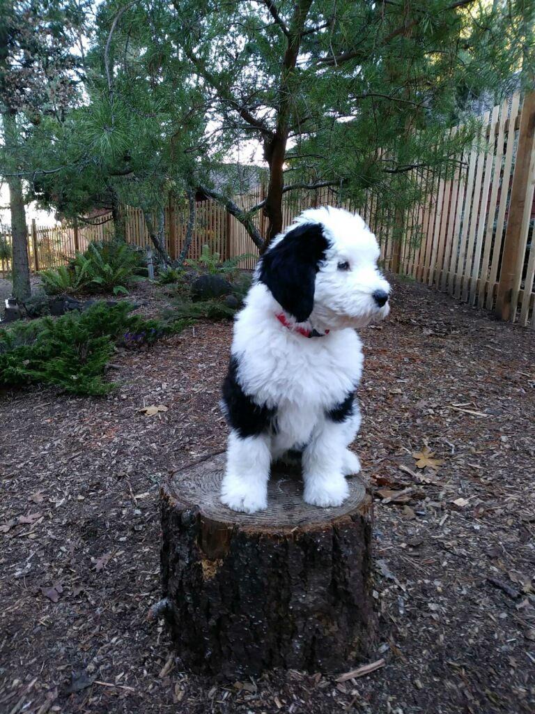 Phantom Sheepadoodle Puppy Sheepadoodle Puppy Sheepadoodle