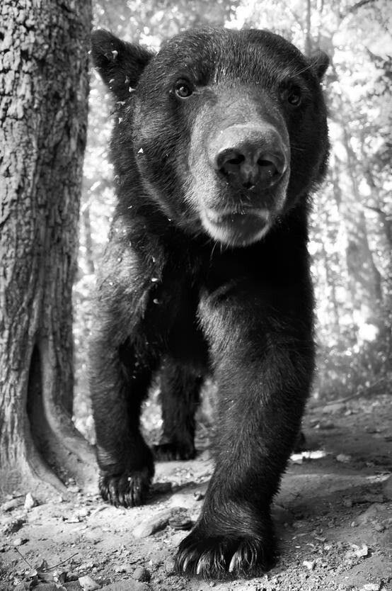 Close Up Black And White Bear Photo Animals Beautiful Animals Cute Animals