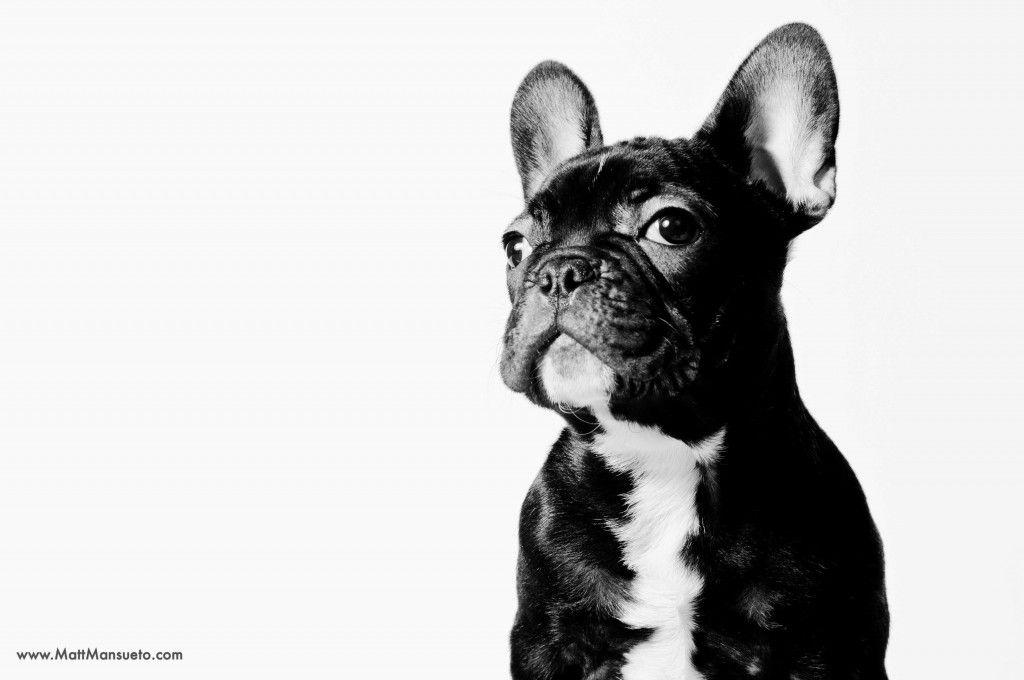 Rocco A French Bulldog Puppy In Home Portrait Chicago Il