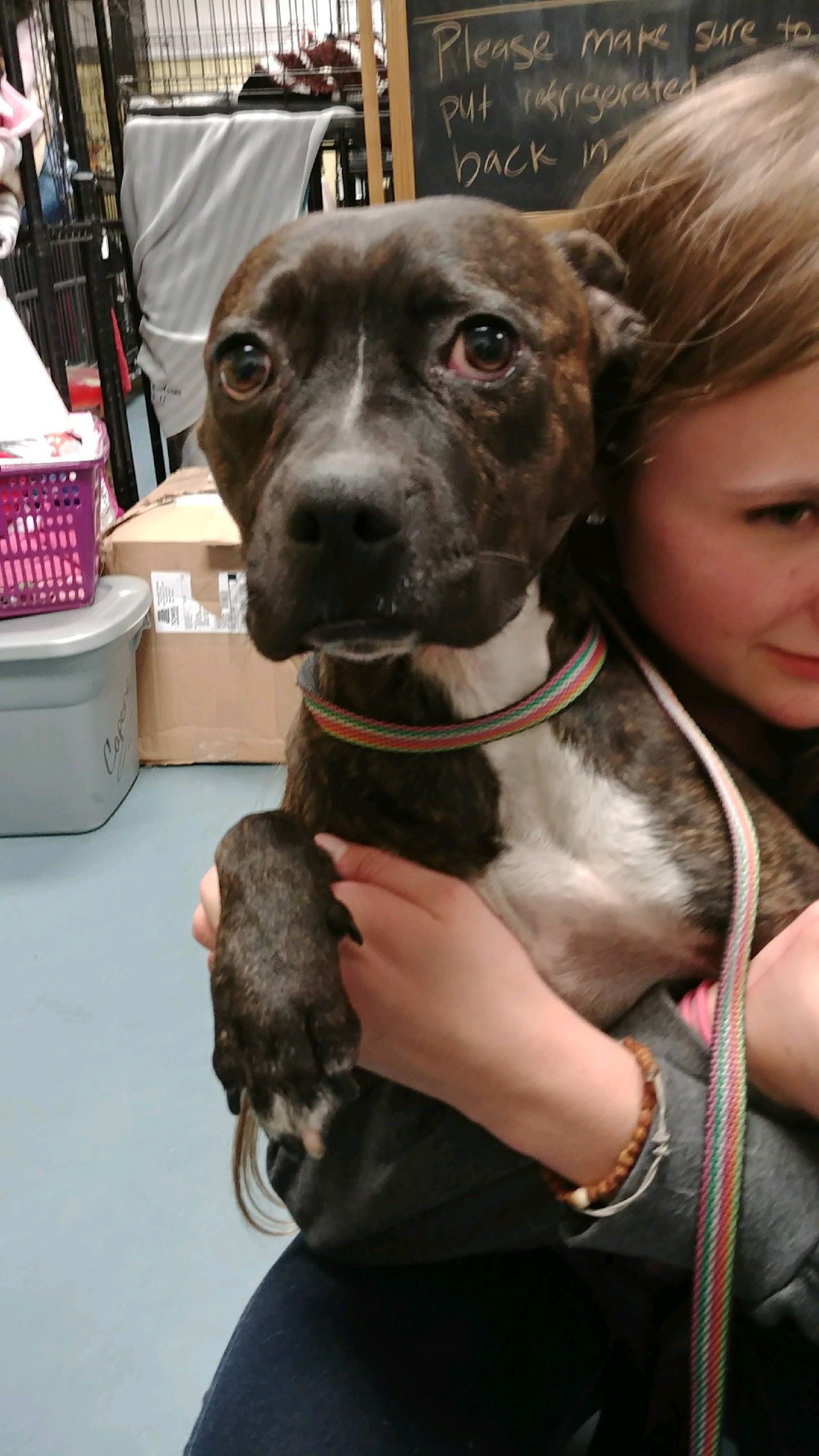 Bullboxer Pit Dog For Adoption In Chico Ca Adn 753481 On