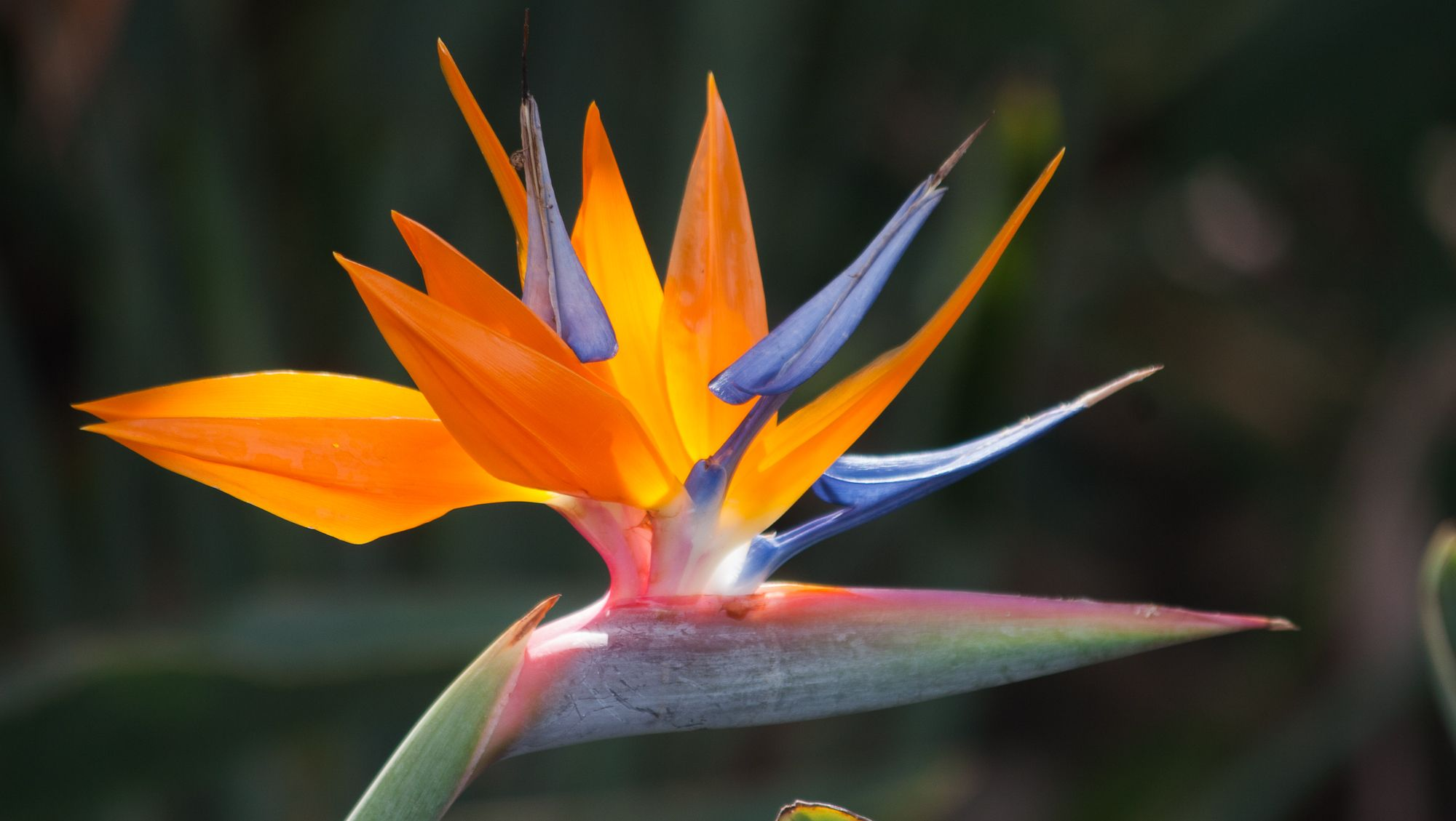 My Lovely Colleague Heather Suggested This Bird Of Paradise Flower Kolibrikukka In Finnish To Birds Of Paradise Plant Paradise Plant Birds Of Paradise Flower