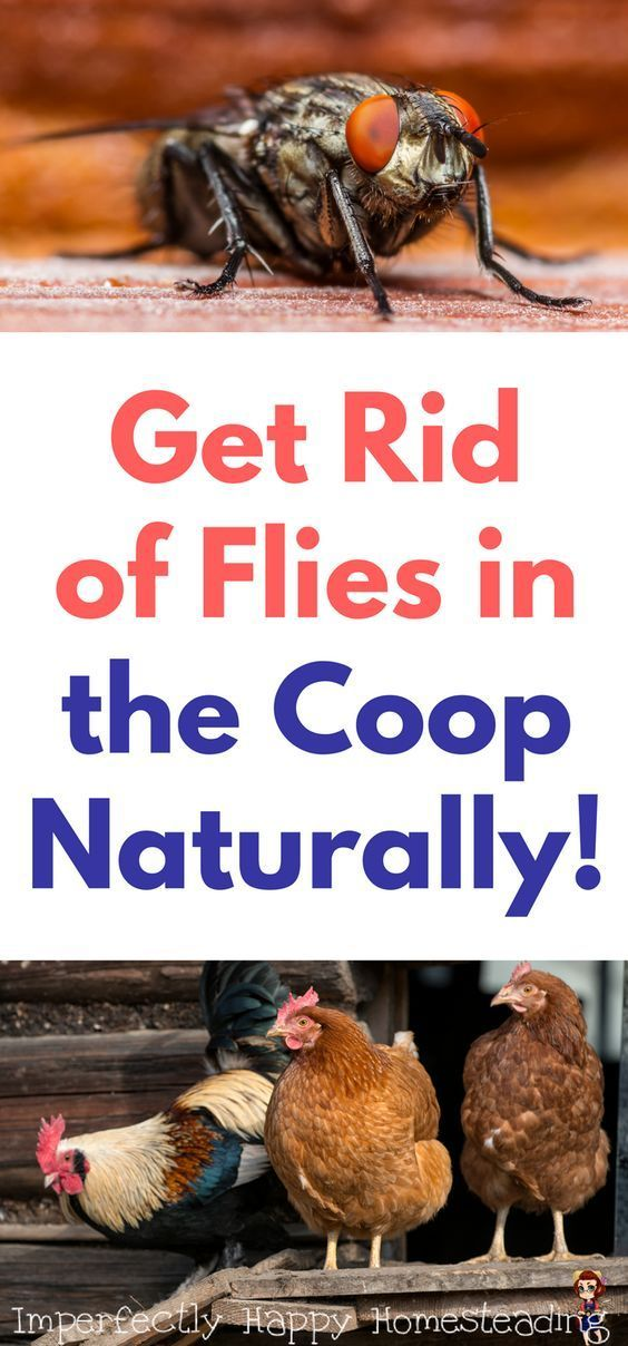 Flies in the Coop How to Get Rid of Them Naturally ...
