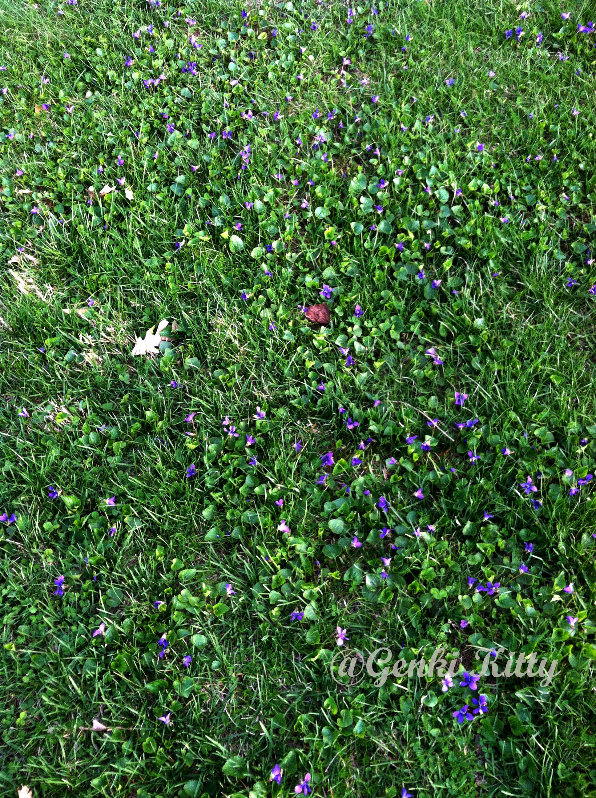 Michigan grass lawn covered in tiny purple flowers from creeping its an invasive weed but it is pretty in the spring genkikitty purpleflower weeds spring gardening mightylinksfo