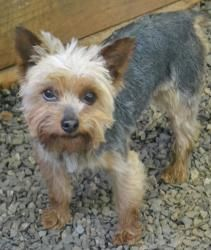 Humphries is an adoptable Yorkshire Terrier Yorkie Dog in