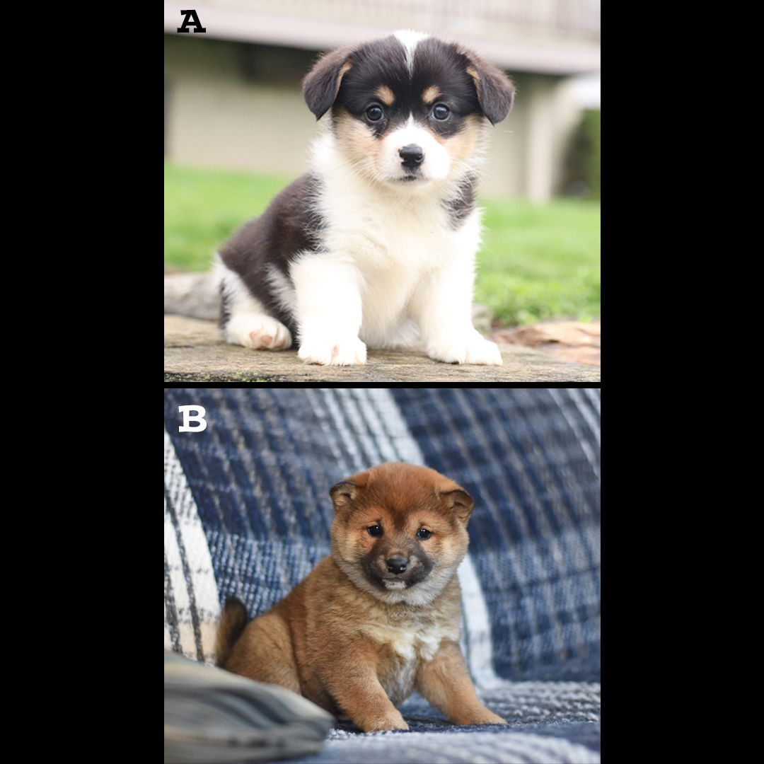 We Want To Know What You Think Cast Your Vote Folks Which Puppy Would You Want In 2020 Lancaster Puppies Corgi Puppies For Sale Welsh Corgi Puppies