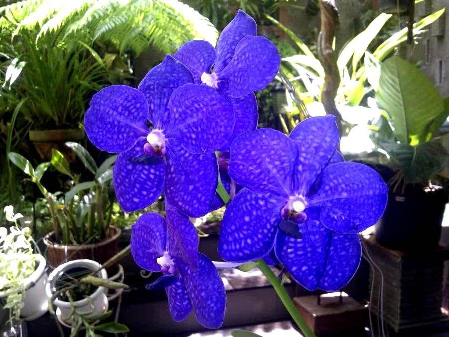 Gambar Bunga Anggrek Vanda Pernik Dunia Amazing Flowers