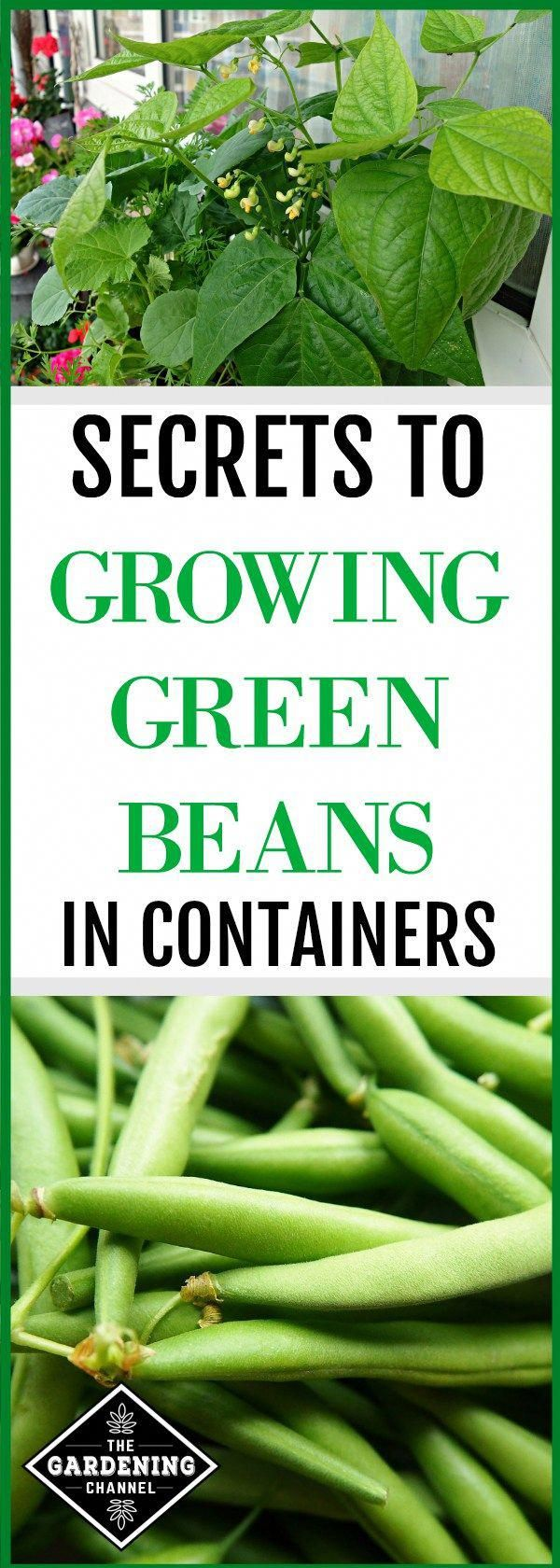 Tips On How To Grow Green Beans In Containers Including 640 x 480