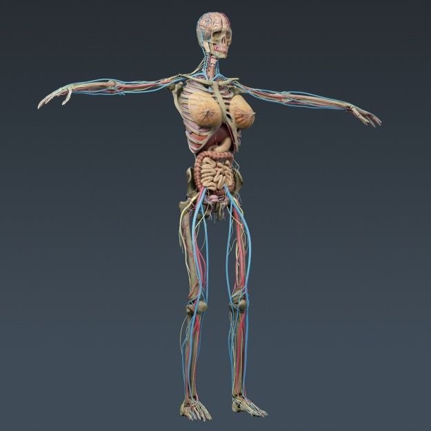 Human Female Anatomy - Body Skeleton and Internal Organs 3D Model ...