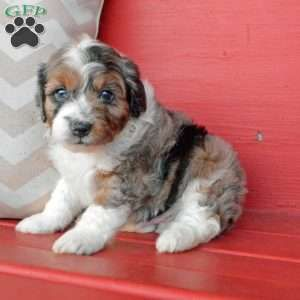 Miniature Aussiedoodle Puppies For Sale Greenfield Puppies Aussiedoodle Puppies For Sale Greenfield Puppies