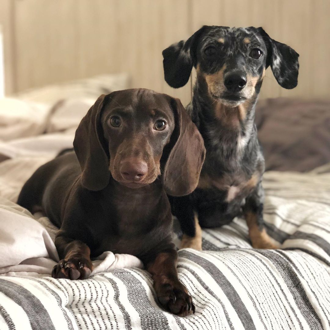 Are Dachshunds Good Apartment Dogs Dog Flea Treatment Best