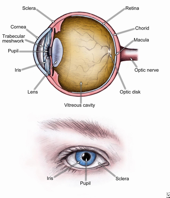 Human Eye Parts Anatomy 5510d14013ae2g 12801493 Modeling