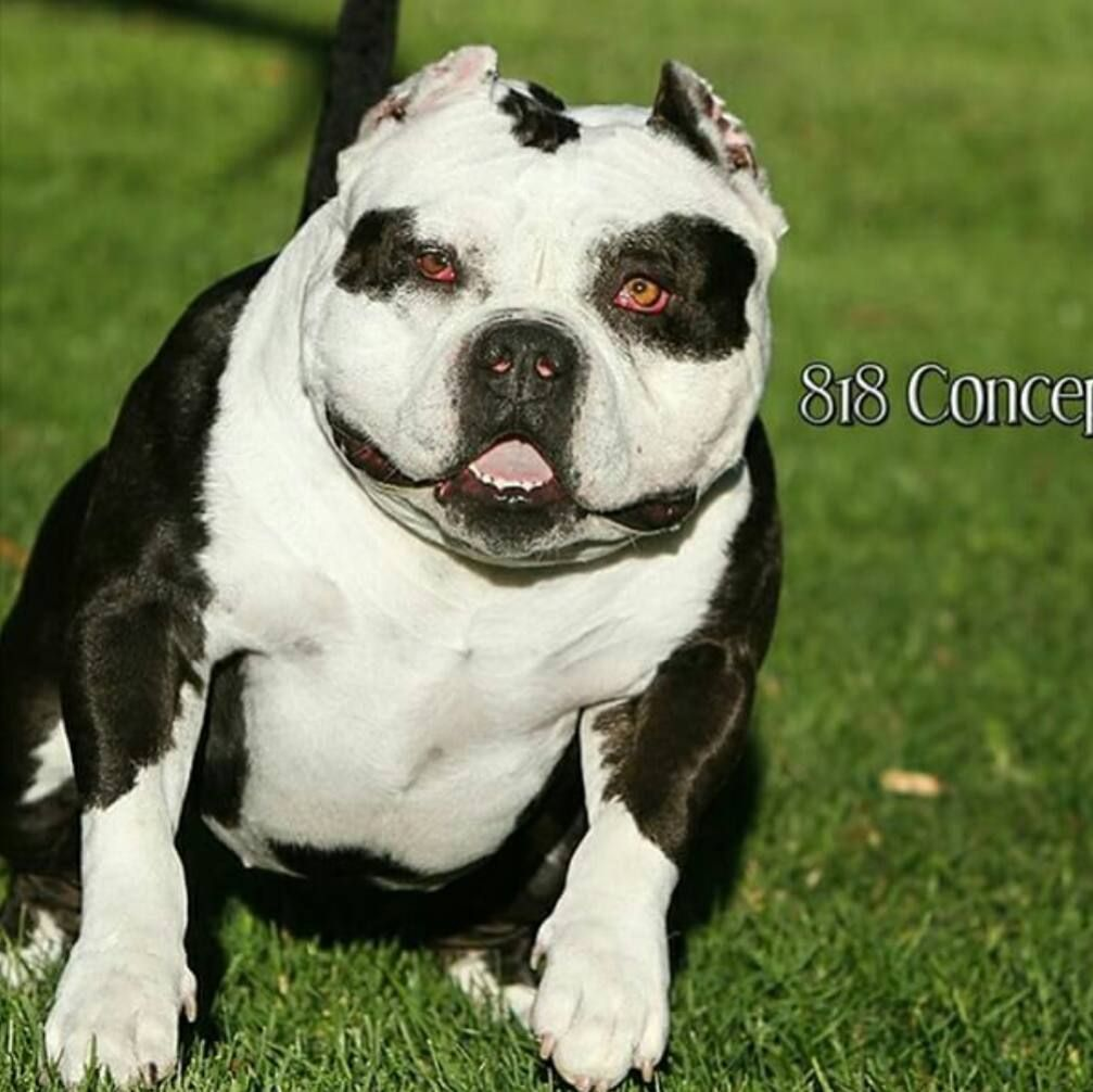 Panda Express Owned By Emoney900st Americanbully Bullybreed