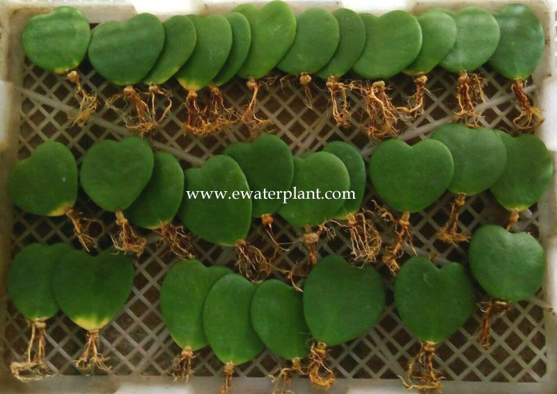 Hoya Heart Leave Potted Plant Nursery In Thailand