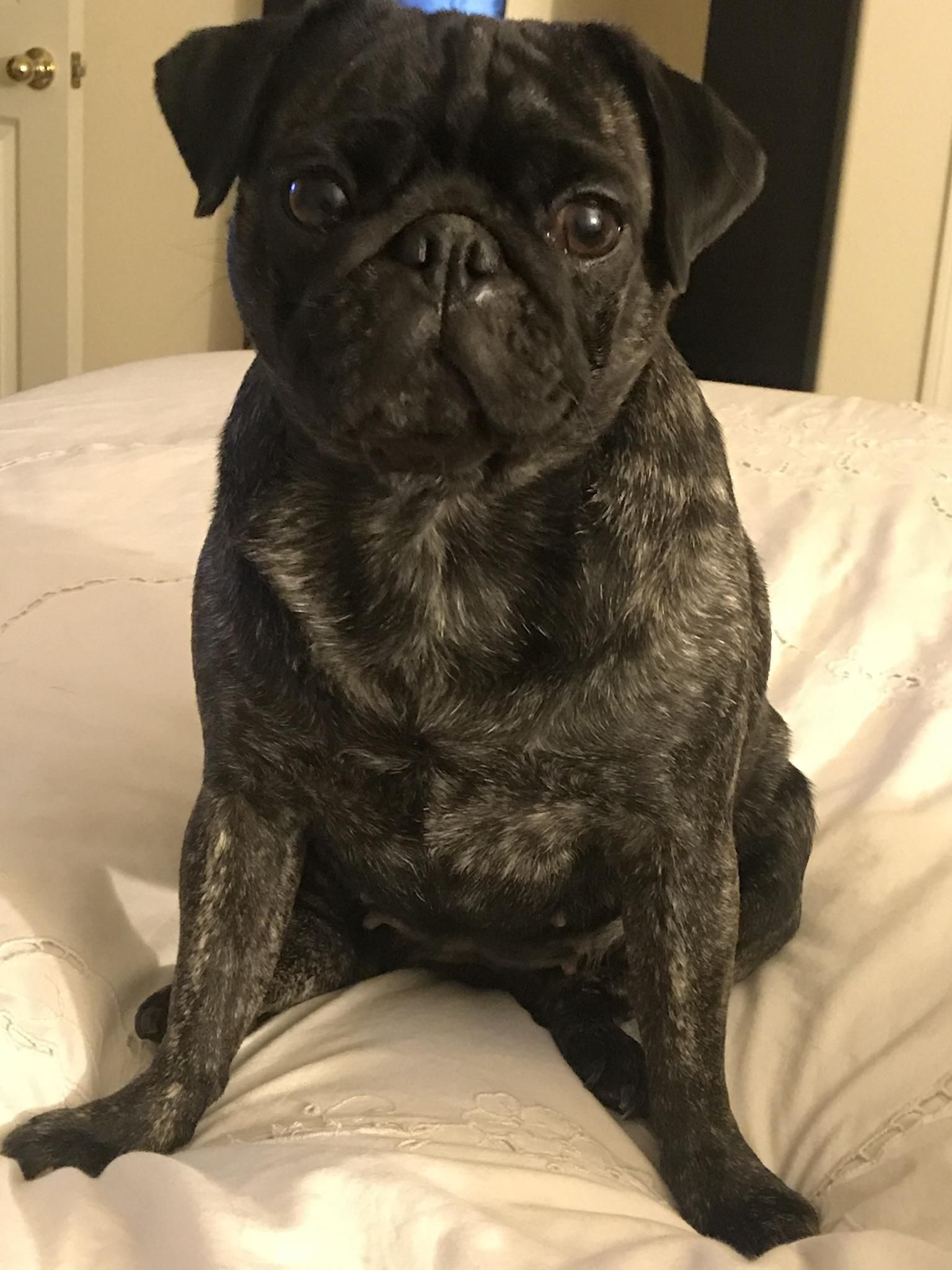My 4 Y O Spoiled Rotten Brindle Pug Miss Tiggy Music Indieartist