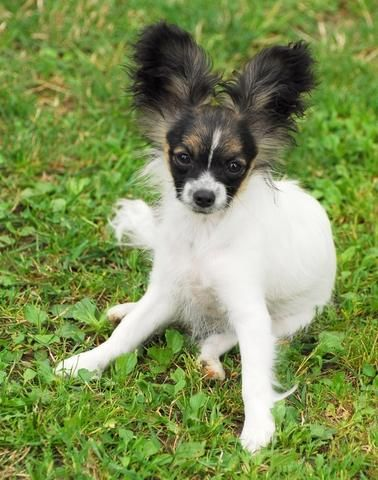 Awkward Stage Of The Papillon Puppy Lol Papillon Puppy Papillon