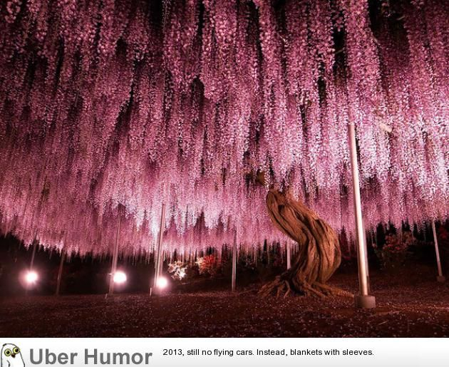 144 year old Wisteria in Japan