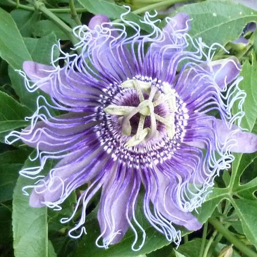 Picasa Web Albums Franco Rios Franco Misc Passion Flower Flowers Wild In The Streets