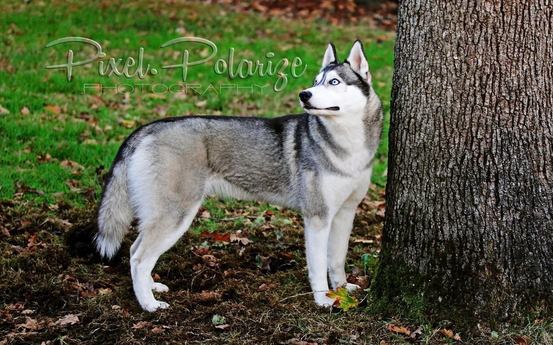 Bold Siberian Huskies Pup Grooming Siberianhuskys