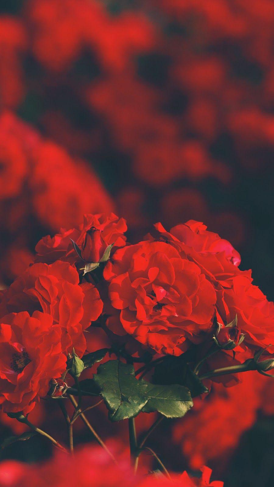 Red Rose Wallpaper Wallpaper Iphone Android Background Followme Rose Wallpaper Red Wallpaper Red Roses Wallpaper