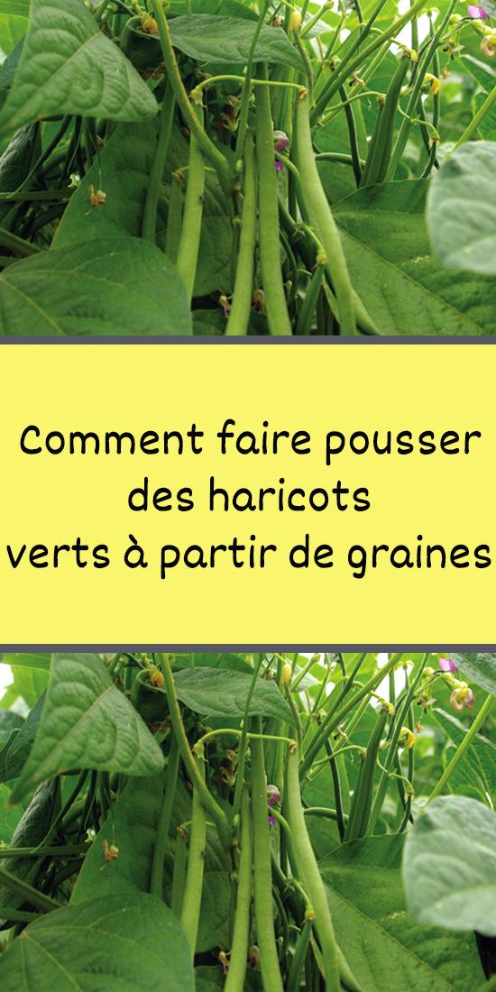 Comment Faire Pousser Des Haricots Verts A Partir De Graines En 2020 Culture Des Haricots Haricot Haricots Verts
