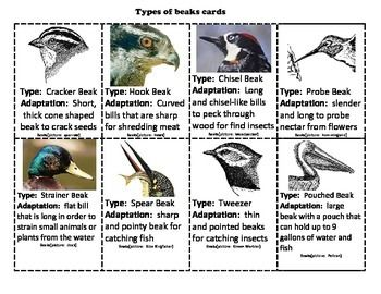 Adaptations: Design a Bird | Design, Birds and Cards