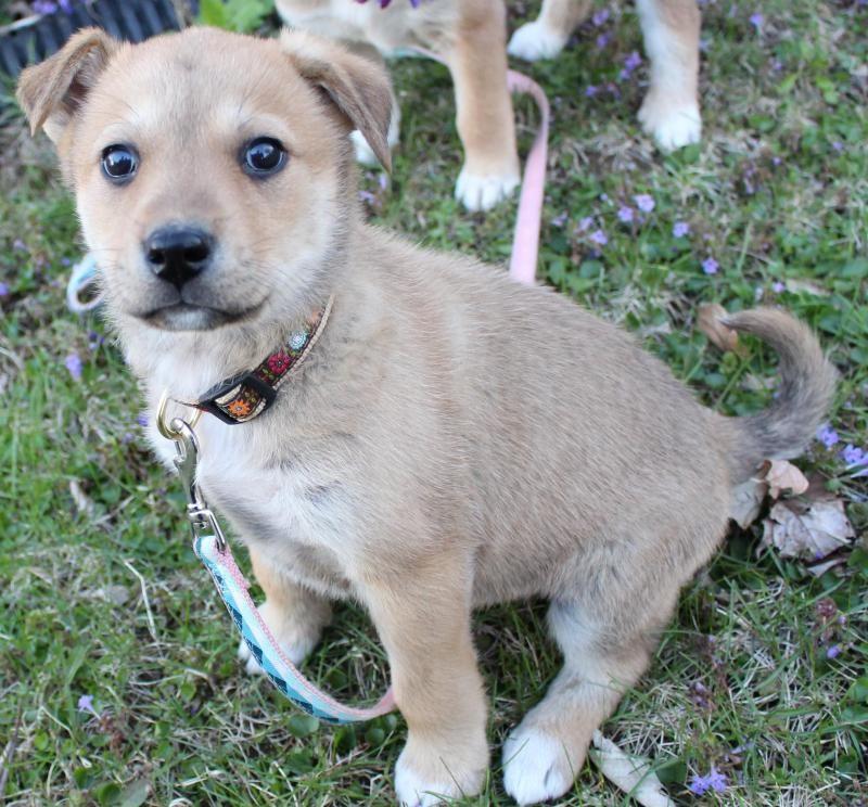 Adopt cara on great pyrenees shepherd mix dog dogs