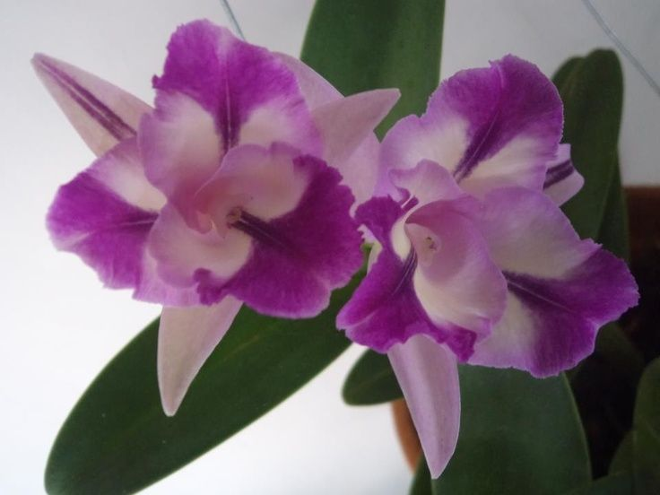 Back Gt Gallery For Gt Cataleya Colombian Flower Tattoo Orchids Beautiful Orchids Flowers