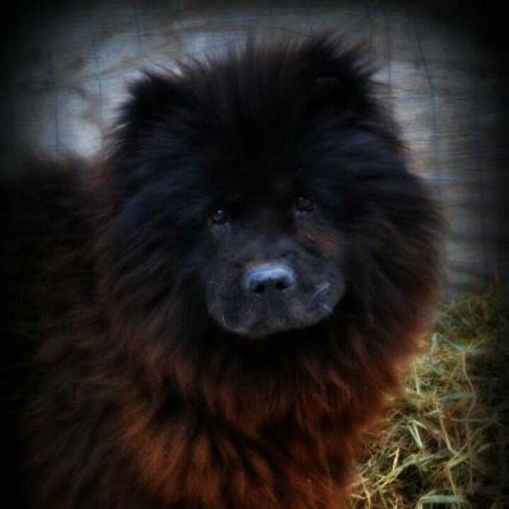 Chow Chow Rescue Of Central New York Inc His Name Is Pillar A