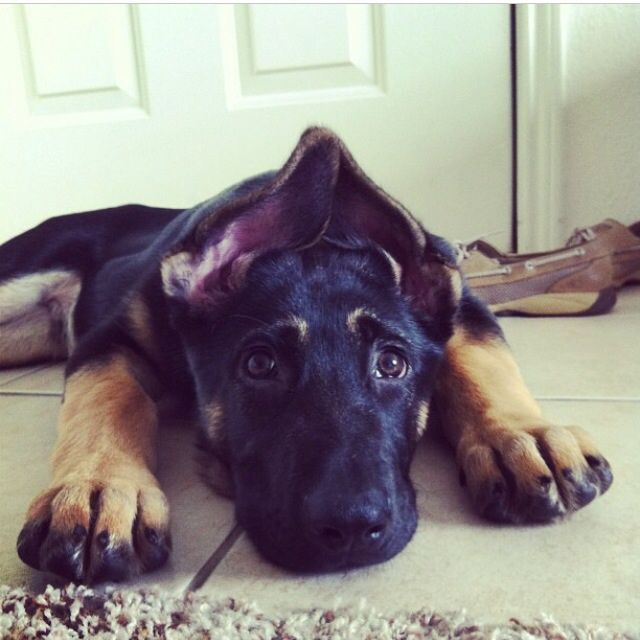 Criss Crossed Ear Phase Animals Puppies Service Dogs